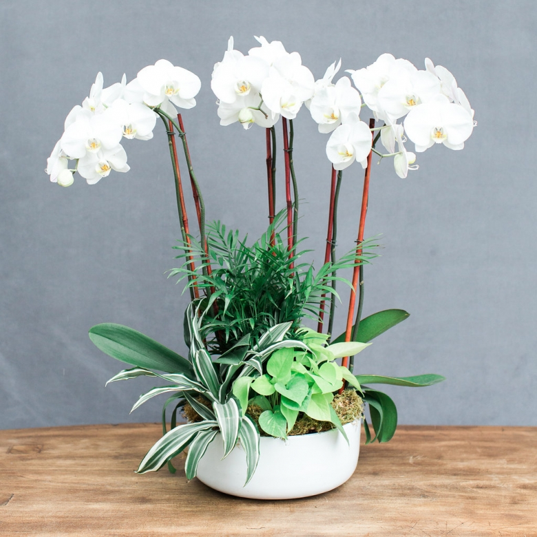 White phalaenopsis orchids planted with mixed green plants in a low white ceramic pot